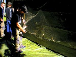 Urtagning av fisk ur provnat