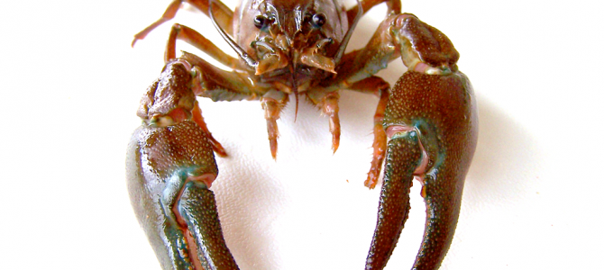 Rapport från årets provfiske efter kräftor